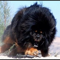Adult Tibetan Mastiff  by izdato, via Flickr
