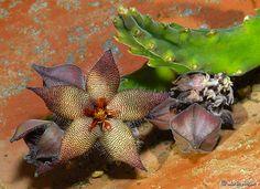 Stapelia acuminata flower & buds | Flickr - Photo Sharing!