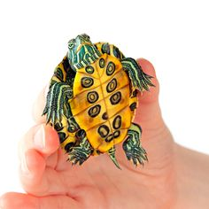 Baby Golden Thread Turtles for sale. Great personalities, very friendly, healthy & active. We have hundreds of turtles & turtle products for sale in our store.