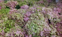 #Hydrangea # Hortensia #InspireClassic; Available at www.barendsen.nl