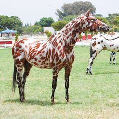 Nightingales Monarch (Maluti Freckles x Maluti Toby's Sundowner), an Appaloosa stallion. Holy balls, that cannot be a real horse! Most Beautiful Horses, All The Pretty Horses, Animals Beautiful, Cute Animals, Funny Animals, Rare Horses, Horses And Dogs, Wild Horses, Leopard Appaloosa