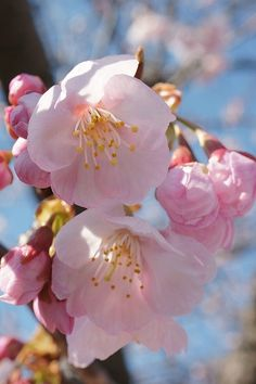 Beautiful Sakura Blossoms