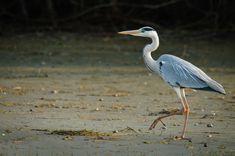 Delta Dunării Danube Delta, Romania, Birds, Animals, Animales, Animaux, Bird, Animal, Animais