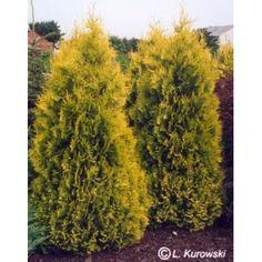 Aukštis ir plotis ~3 m, šviesamėgis, lengvai formuojamas. Parduodamo sodinuko dydis 50 cm. Kaina medelyne 3 €.