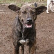 Former Spanish rescuedog Carmen looking for home in fostercare in Finland. Such a lovely dog.