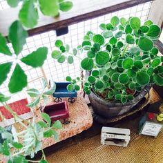nam♪koさんが投稿した画像です。他のnam♪koさんの画像も見てませんか?|おすすめの観葉植物や花の名前、ガーデニング雑貨が見つかる!GreenSnap(グリーンスナップ)