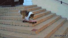 Animated gif. Sheltie riding skateboard. So talented!