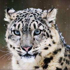 El leopardo de las nieves tiene unas habilidades físicas extraordinarias que lo convierten en el campeón de salto del mundo animal: es capaz de saltar una longitud de 15 m y una altura de 6 m. #nieve #salto #pantera http://www.pandabuzz.com/es/animal-del-dia/los-saltos-del-leopardo-nieves