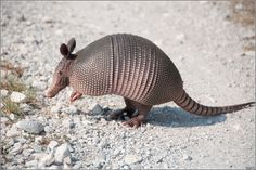 """I'll never forget the day a baby armadillo walked by me in my backyard! He was so cute ☺""""Wildlife"""" 