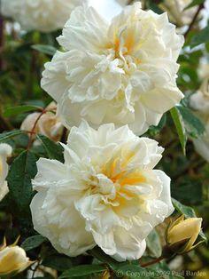 Hybrid Wichurana Rambling Rose: Rosa 'Alberic Barbier' (France, 1900)