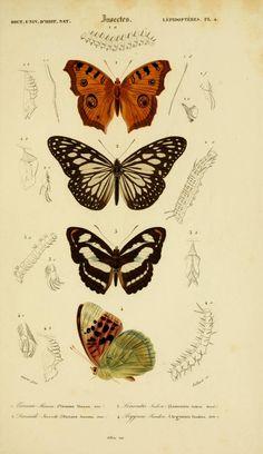 v. 2 1849 - Atlas Dictionnaire universel d'histoire naturelle : - Biodiversity Heritage Library