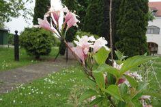 Ukrasni grm, vrsta Rododendrona