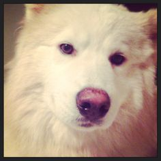 Ozzy Mixed Breed, Dogs, Animals, Huskies Puppies, Animales, Animaux, Pet Dogs, Mixed Race, Doggies