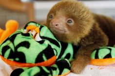 That's it! I'm getting a baby sloth.