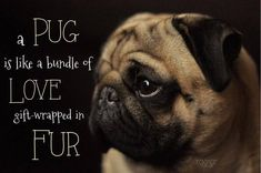 A pug is like a bundle of love gift-wrapped in fur.