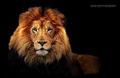 le roi lion par eric fillaud sur L'Internaute