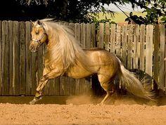 Reminic N Dunit, a palomino AQHA stallion