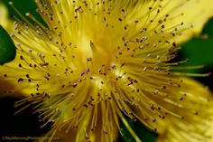 St. John's-wort - Hypericum perforatum           #Flora #FlowerPhotography #Flowers #Hypericumperforatum #Macro #MacroPhotography #Nature #NaturePhotography #Photography #Plants #RayManningPhotography #StJohn'swort #yellow