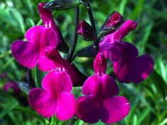 Salvia greggii x lycioides