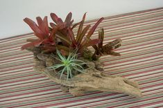Live Bromeliads in Driftwood Wood Container for Table Centerpiece or Tropical Decoration Tropical Centerpieces, Centerpiece Decorations, Tropical Decor, Tropical Plants, Table Centerpieces, Driftwood Centerpiece, Driftwood Planters, Porch Area, State Of Florida