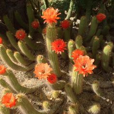 Cactus in bloom at the Phx Botanical Gardens
