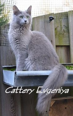 Nebelung breed cat (a semi-longhaired Russian Blue).  This is Morgaine, from Cattery Evgeniya in the Netherlands.  Beautiful Nebelung!  Morgaine has won many awards at the cat shows in europe.