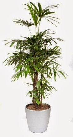 Pensaspalmu (Rhapis excelsa), non-toxic, relatively easy to care, removes ammonia