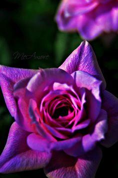Rose During Sunset