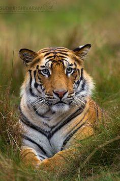 A Bengal Tiger. (Photo By: Sudhir Shivaram.) Not just cute - amazingly beautiful! Nature Animals, Animals And Pets, Cute Animals, Wild Animals, Baby Animals, Beautiful Cats, Animals Beautiful, Aigle Animal, Gato Grande