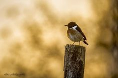 stonechat at sunset by wise photographie on 500px