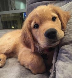 Golden Retriever Puppies I think it's settled. I want a girl golden Retriever. Cute Baby Dogs, Cute Dogs And Puppies, Cute Baby Animals, I Love Dogs, Animals And Pets, Doggies, Bizarre Animals, Retriever Puppy, Dogs Golden Retriever