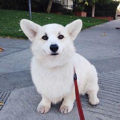 Winston the pure white corgi