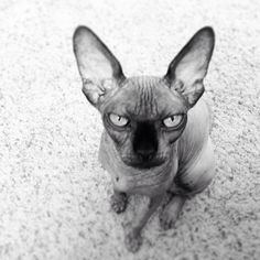Love this tiny cat! #sphynxcats #sphynx