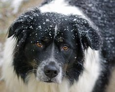 Lacy, a dog in snow