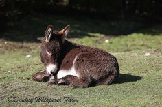 pictures of donkey's and mules | See Donkeys, Horses and Mules