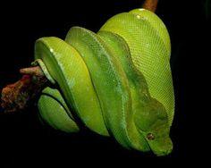 Adult green tree python.