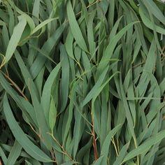 23 Best Eucalyptus Images On Pinterest