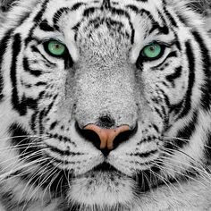 White Tiger Wallpaper 36678 Wallpapers