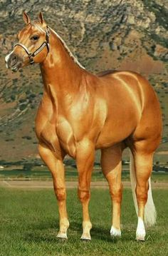 AQHA horses are so cool!