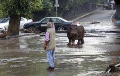 أسود وتماسيح فى شوارع العاصمة الجورجية بسبب الفيضانات  اليوم السابع
