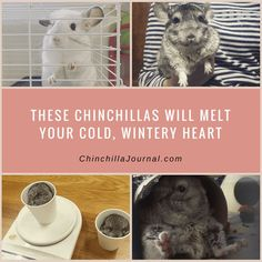 These Chinchillas Will Melt Your Cold, Wintery Heart