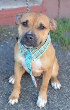 Brooklyn Center CASH – A1053140 MALE, BROWN / WHITE, PIT BULL MIX, 2 yrs STRAY – STRAY WAIT, NO HOLD Reason STRAY Intake condition EXAM REQ Intake Date 09/29/2015 http://nycdogs.urgentpodr.org/cash-a1053140/