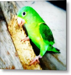 Perico Metal Print By Russell Latino