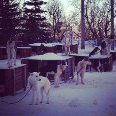 The dogyard at villmarkssenter just outside Tromso, Norway.