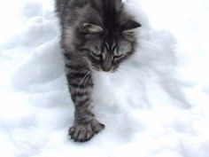 Lucky paws Maine Coon cats :: Maine Coon Cats