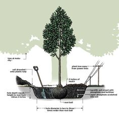 Surprisingly, tree planting is often done incorrectly, I see improperly planted trees all the time, many of them put in by professional landscapers. The most common mistake is burying the entire root ball because the hole is too deep. Not watering enough after planting is another common mistake. Try tying drip- irrigation bags to the tree and refilling them everyday. READ: http://www.thisoldhouse.com/toh/how-to/overview/0,,605171,00.html