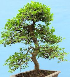 This Month in the Garden: A Brief Guide to Growing and Caring for Bonsai Trees Bonsai Tree Care, Bonsai Tree Types, Indoor Bonsai Tree, Indoor Trees, Bonsai Trees, Tree Base, Miniature Trees, Unique Plants, Growing Tree