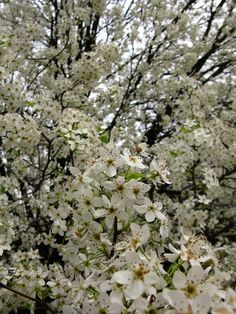 Pictures of trees in the spring google search trees pinterest 100 tree with white flowers that smell good mightylinksfo