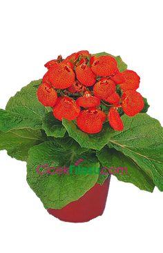 Çanta Çiçeği Bakımı, Yetiştirilmesi, budanması, sulanması, toprak, vitamin, ışık, ve rüzgar faktörlerine karşı direnci.