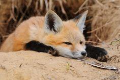 狐の画像貼るけどいいよね? - ゴールデンタイムズ